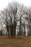 Δάσος σφενδάμνου το φθινόπωρο Στοκ Εικόνες