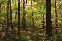 Δάσος σφενδάμνου Στοκ Φωτογραφία