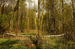 Δάσος την πρώιμη άνοιξη Στοκ Εικόνες
