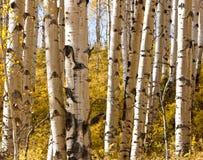 Δάσος της Aspen στοκ εικόνα