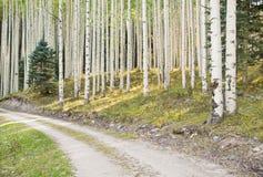 Δάσος της Aspen Στοκ εικόνα με δικαίωμα ελεύθερης χρήσης