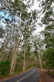 Δάσος της Karri Boranup στη δυτική Αυστραλία Στοκ Φωτογραφία