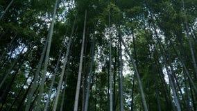 Δάσος του πράσινου μπαμπού απόθεμα βίντεο