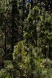 Δάσος του canariensis πεύκων Δέντρο πεύκων Tenerife, δρόμος Pinolere σε Teide Στοκ φωτογραφία με δικαίωμα ελεύθερης χρήσης