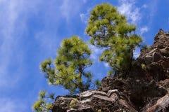 Δάσος του canariensis πεύκων Δέντρο πεύκων Tenerife, δρόμος Pinolere σε Teide Στοκ Εικόνες