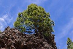 Δάσος του canariensis πεύκων Δέντρο πεύκων Tenerife, δρόμος Pinolere σε Teide Στοκ φωτογραφίες με δικαίωμα ελεύθερης χρήσης