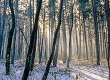 Δάσος το χειμώνα με τις ακτίνες ήλιων Στοκ φωτογραφίες με δικαίωμα ελεύθερης χρήσης