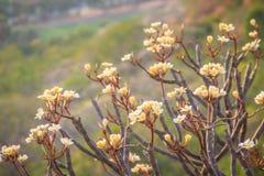 Δάσος των δέντρων λουλουδιών Plumeria στο βουνό, κοντινό Khao ωχρό Στοκ Εικόνα