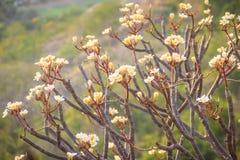 Δάσος των δέντρων λουλουδιών Plumeria στο βουνό, κοντινό Khao ωχρό Στοκ εικόνα με δικαίωμα ελεύθερης χρήσης