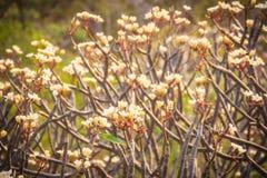 Δάσος των δέντρων λουλουδιών Plumeria στο βουνό, κοντινό Khao ωχρό Στοκ φωτογραφία με δικαίωμα ελεύθερης χρήσης