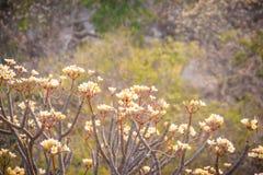 Δάσος των δέντρων λουλουδιών Plumeria στο βουνό, κοντινό Khao ωχρό Στοκ Εικόνες