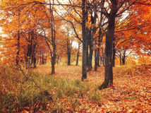 Δάσος φθινοπώρου με τα πεσμένα δρύινα φύλλα φθινοπώρου Χρωματισμένο φθινόπωρο τοπίο - δρύινη δασική φύση στη νεφελώδη ημέρα φθινο Στοκ Φωτογραφίες