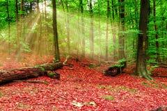 Δάσος φθινοπώρου με τα sunrays Στοκ Εικόνες