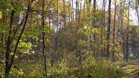 Δάσος φθινοπώρου, πτώση φύλλων Κίτρινη πτώση φύλλων στο έδαφος απόθεμα βίντεο