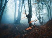 Δάσος φθινοπώρου στην μπλε ομίχλη Μυστικά δέντρα φθινοπώρου Στοκ Φωτογραφίες