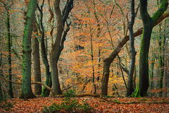Δάσος φθινοπώρου στο Netherland Στοκ εικόνα με δικαίωμα ελεύθερης χρήσης