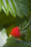 δάσος φραουλών Στοκ φωτογραφίες με δικαίωμα ελεύθερης χρήσης
