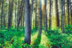Δάσος & φως του ήλιου Redwood στοκ εικόνα