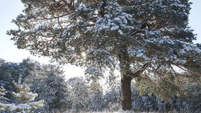 Δάσος χειμερινού έλατου στο χιόνι στον ήλιο Στοκ Εικόνες