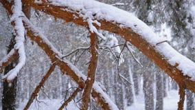 Δάσος χειμερινών πεύκων με τα χιονισμένα χριστουγεννιάτικα δέντρα κλάδων κίνηση αργή απόθεμα βίντεο
