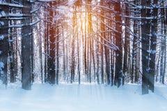 Δάσος χειμερινών πεύκων με τις ακτίνες και τον ήλιο ενός φωτός του ήλιου Στοκ εικόνες με δικαίωμα ελεύθερης χρήσης