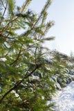 Δάσος χειμερινών πεύκων Στοκ Φωτογραφίες