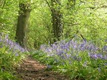 δάσος 01 bluebell στοκ φωτογραφία