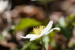 Δάσος Anemone την άνοιξη Στοκ Φωτογραφίες