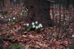 Δάσος anemone Altai την άνοιξη Στοκ Εικόνες