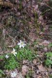 Δάσος Anemones την άνοιξη Στοκ φωτογραφίες με δικαίωμα ελεύθερης χρήσης