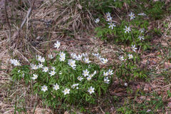 Δάσος Anemones την άνοιξη Στοκ εικόνες με δικαίωμα ελεύθερης χρήσης