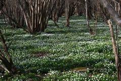Δάσος anemones Στοκ Εικόνες