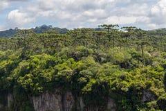 Δάσος angustifolia αροκαριών στο φαράγγι Itaimbezinho Στοκ Φωτογραφία