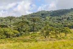 Δάσος angustifolia αροκαριών Στοκ φωτογραφίες με δικαίωμα ελεύθερης χρήσης