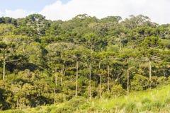 Δάσος angustifolia αροκαριών Στοκ εικόνες με δικαίωμα ελεύθερης χρήσης