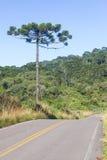 Δάσος angustifolia δρόμων και αροκαριών Στοκ Εικόνα