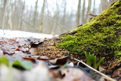 Δάσος bifolia Scilla βόρειο την άνοιξη Στοκ εικόνες με δικαίωμα ελεύθερης χρήσης