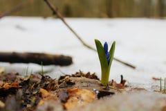 Δάσος bifolia Scilla την άνοιξη Στοκ Φωτογραφία