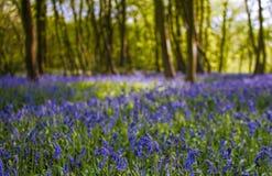 Δάσος Bluebell στοκ φωτογραφία