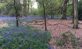 Δάσος Bluebell Στοκ Εικόνες