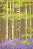 Δάσος Bluebell Hallerbos στο Βέλγιο στο φως του ήλιου πρωινού Στοκ εικόνες με δικαίωμα ελεύθερης χρήσης