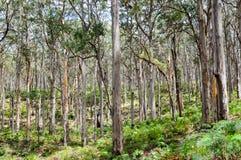 Δάσος Boranup: Δυτική Αυστραλία Στοκ Φωτογραφία
