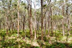 Δάσος Boranup Στοκ Φωτογραφίες