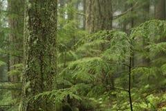 δάσος hemlock δυτικό Στοκ εικόνα με δικαίωμα ελεύθερης χρήσης
