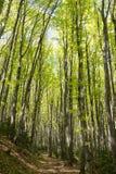 Δάσος Hornbeam Στοκ Εικόνες
