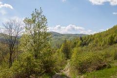 Δάσος Hornbeam Στοκ Εικόνα