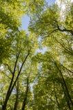 Δάσος Hornbeam Στοκ Φωτογραφία