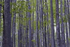 Δάσος Hornbeam - 04 Στοκ εικόνες με δικαίωμα ελεύθερης χρήσης