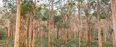 Δάσος Karee Boranup Στοκ Φωτογραφία
