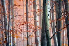δάσος misty Στοκ Εικόνες